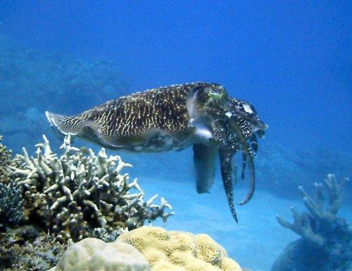 unterschied octopus tintenfisch