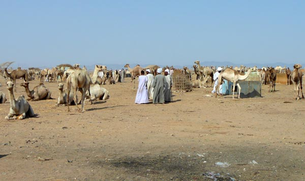 wenn der beduine mit kamel